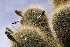 Cardn (Jennifer Feinbraun) Tags: cactus plants naturaleza nature argentina nationalpark plantas salta noa reserva cardn 25faves parquenacionalloscardones