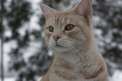 IMG_6863 (Siw Linda) Tags: trees winter orange snow cute animal forest cat eyes beige woods pretty january adorable whiskers mainecoon