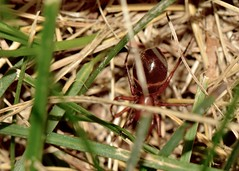 a different ant mimic spider (laurie_frisch) Tags: bug spider spiders lawn iowa bugs cedarrapids trilineata threebanded castianeira