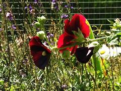 Holly hock backlit (Lesley A Butler) Tags: flowers summer garden australia victoria tolmie agastache