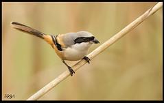 Shrike (Arshad Aashraf) Tags: pictures pakistan bird eye nature birds nikon view images 600 prey mm lover