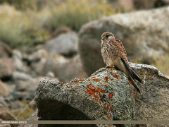 Common Kestrel (Falco tinnunculus) (gilgit2) Tags: pakistan birds fauna canon geotagged wings wildlife feathers sigma tags location species category avifauna falcotinnunculus borit gojal gilgitbaltistan sigma150500mmf563apodgoshsm commonkestrelfalcotinnunculus imranshah canoneos70d gilgit2