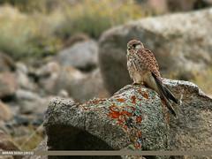 Common Kestrel (Falco tinnunculus) (gilgit2) Tags: pakistan birds fauna canon geotagged wings wildlife feathers sigma tags location species category avifauna falcotinnunculus borit gojal gilgitbaltistan sigma150500mmf563apodgoshsm commonkestrelfalcotinnunculus imranshah canoneos70d gilgit2