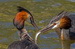 0765   Grebes.... (jefflack Wildlife&Nature) Tags: nature birds wildlife lakes wetlands raptors avian grebe greatcrestedgrebe wildbirds grebes