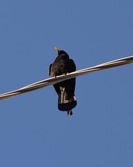 Gracchio alpino (kyry2010) Tags: alpine chough uccello alpino gracchio