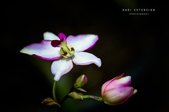 Beauty in the Dark (Dari_Extension) Tags: flowers nature closeup orchids