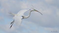Great Egret (TomLamb47) Tags: bird nature orlando branch greg nest wildlife great flight breeding swamp material egret gatorland