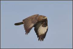 Buzzard (image 2 of 2) (Full Moon Images) Tags: bird nature flying wildlife flight lakes reserve prey buzzard fen cambridgeshire birdofprey drayton rspb