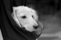 IMG_4153 (yukichinoko) Tags: dog puppy dachshund 犬 kinako 子犬 ダックスフント ダックスフンド きなこ