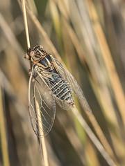 Cicada (jacquie.s) Tags: lakes