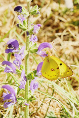 Berger's clouded yellow (Bill Kirby1) Tags: france butterfly languedoc 2015