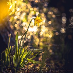 Golden Glow (Augmented Reality Images (Getty Contributor)) Tags: light flower nature sunshine yellow forest canon golden scotland spring bokeh perthshire daffodil glowing