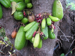 starr-130221-1598-Averrhoa_bilimbi-fruit_and_flowers-Waihee-Maui (Starr Environmental) Tags: averrhoabilimbi
