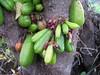 starr-130221-1598-Averrhoa_bilimbi-fruit_and_flowers-Waihee-Maui (Starr Environmental) Tags: averrhoabilimbi