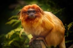 Golden Lion Tamarin. (Mandyjj543) Tags: nature mammal monkey golden wildlife mammals tamaron