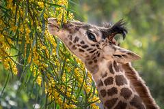 NIbbling on Flowering Acacia (helenehoffman) Tags: giraffacamelopardalistippelskirchi acacia conservationstatusthreatened kenya kilimanjarogiraffe tanzania giraffe masaigiraffe animal specanimal sunrays5