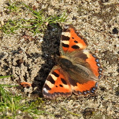 """""""Aglais urticae"""" (bugman11) Tags: orange macro nature animal animals fauna butterfly bug insect nikon nederland thenetherlands butterflies insects bugs aglaisurticae kleinevos thegalaxy allnaturesparadise"""