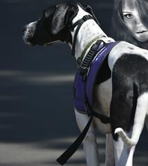 The Great Dane (swong95765) Tags: woman dog beautiful face animal female large canine greatdane servicedog