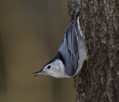 White-breasted Nuthatch (AllHarts) Tags: whitebreastednuthatch spac flickerites hollyspringsms avianexcellence naturesspirit naturescarousel thesunshinegroup challengeclubchampions