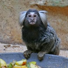 P1050305 Common marmoset, Ouistiti à toupets blancs (daniel EGV) Tags: zoo nature mammals mammifères lapalmyre maimuță monkey singe ouistiti maimuta mamifere mammalian