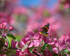 Our butterflies are back! (KsCattails) Tags: flower tree butterfly spring nikon blossom outdoor redadmiral kansas crabapple overlandparkarboretum d7000 kscattails