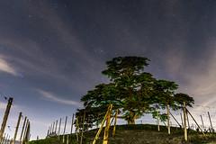 Il Cedro del Libano, La Morra - Lebanon Cedar in La Morra (Attilio Piselli) Tags: night landscape vineyard astrophotography notte vigne lamorra starrynight langhe stelle cedro vigneti lebanoncedar cedrodellibano