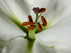 Stamen and pistil (Hornbeam Arts) Tags: flower lily style stigma filament ovary anther