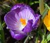 Crocus (rustyruth1959) Tags: flower garden droplets nikon purple yorkshire crocus bloom nikond3200 masterphotos