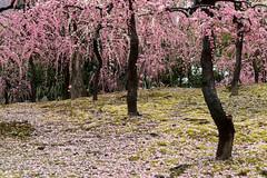 20160229-100820_5K_80 (pya) Tags: kyoto 京都 camellia plumblossoms jonangu 梅花 茶花 城南宮 椿花 weepingplumblossoms