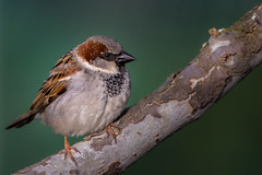 Balled-up (house sparrow) (bodro) Tags: house birds sparrow manhattanbeach polliwogpark