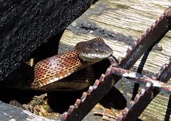 Snake Season (Trains & Trails) Tags: detail nature closeup outdoors pennsylvania reptile ratsnake fayettecounty connellsville blacksnake explored