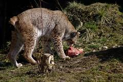 Lynx, lunch time (dididumm) Tags: lunch meat mittagessen fleisch eurasianlynx lynxlynx eurasischerluchs ifiranthezoo