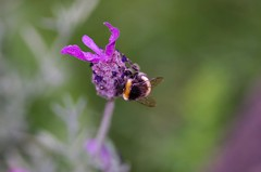 Bumble bee on lavender (linco100) Tags: flowers macro nature garden focus bokeh lavender insects bee bumblebee selectivefocus frenchlavender