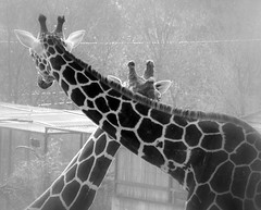 Les girafes (marie.terrieux) Tags: girafe zoobeauval
