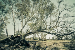IMG_9905 1 (gaujourfrancoise) Tags: nt australia downunder northernterritory australie kakadunationalpark deadtrees arbresmorts gaujour