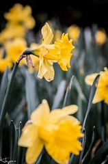 Daffs (Wayne Cappleman (Haywain Photography)) Tags: park colour photography george king wayne hampshire dragan daffodils farnborough fifth haywain cappleman
