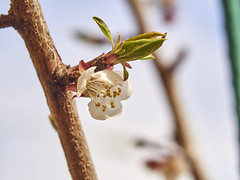 Glow (peredman) Tags: blossom 85mm apricot fruittree apricotblossom varisoft minoltavarisoftrokkor85mmf28 metabonesspeedbooster
