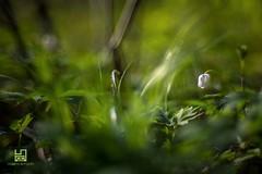 BOCCIOLO (Lace1952) Tags: primavera italia bokeh natura piemonte fiore controluce sfocato bocciolo sottobosco vco croveo valleantigorio ossola nikond7100 nikkor50mmf1e4