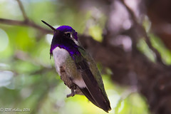IMG_3153.jpg (ashleyrm) Tags: travel arizona birds museum sonora desert tucson hummingbirds birdwatching avian tucsonarizona hummingbirdaviary