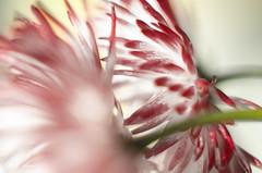 (nolleone--Nol, like Christmas) Tags: flowers red white petals dof bokeh stems highkey hss samebutdifferent happyslidersunday