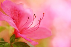 Pink Lemonade (j man.) Tags: life pink light flower color texture nature floral beautiful composition photography leaf cool focus dof blossom bokeh pov background details dream blurred depthoffield pointofview dreamy azalea tones hue missouribotanicalgardens jman macrophotography pinklemonade lighitng flickrbronzetrophygroup