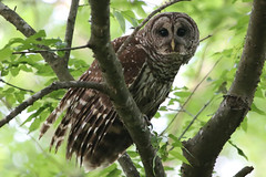 Barred Owl (gregpage1465) Tags: bird nature photography photo texas greg wildlife picture page owl barred barredowl strixvaria gregpage
