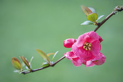 Flowering Quince (ScarletBlack) Tags: chaenomeles floweringquince