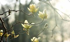 Fade To Light (Lala Lands) Tags: dof bokeh goldenhour nikkor105mmf28 whitemagnolia springeveninglight magnoliaelizabeth familymagnoliaceae whitespringflowers latebloomingmagnolia nikond7200