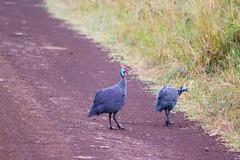 IMG_4528 (rmorton3) Tags: kenya wildlife nairobi safari guineafowl