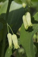 Polygonatum biflorum (Layla Dishman) Tags: asparagaceae