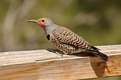 Northern Flicker (4930) (Bob Walker (NM)) Tags: usa newmexico bird losalamos northernflicker colaptesauratus redshaftednorthernflicker nofl