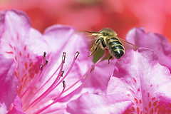 Honeybee in Flight (Johnnie Shene Photography(Thanks, 2Million+ Views)) Tags: pink red wild people flower colour macro nature floral animal horizontal closeup canon bug insect lens photography eos rebel living fly flying interesting flora focus scenery kiss natural image outdoor no wildlife flight scenic tranquility scene 11 bee theme midair azalea magnified flapping awe tamron 90mm honeybee f28 tranquil adjustment freshness foreground t3i x5 organism hymenoptera behaviour 비행 fragility 곤충 접사 hymenopteran 600d 벌 꿀벌 매크로