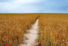 follow the path (merstling) Tags: blue summer sky orange sun plant nature field yellow way landscape path wheet agrar