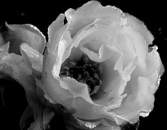 Rose In The Morning Dew... 2 (yantrax) Tags: flowers blackandwhite bw plant flower macro texture nature wet floral monochrome beauty weather rose closeup garden droplets pattern natural blossom outdoor sony pflanze dew bloom raindrops blume makro textur einfarbig schwarzerhintergrund heiter flowersarefabulous